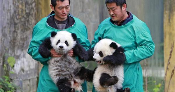 Giant panda twin cubs meet public in Chongqing