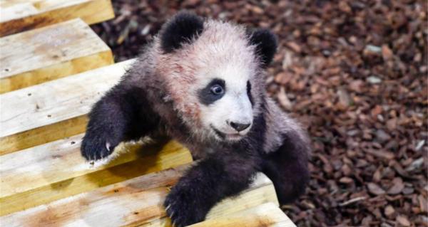 第一只熊猫幼崽出生在法国