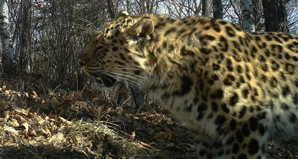 Siberian tigers and Amur leopards caught on camera in NE China