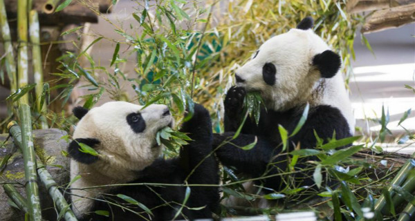 Take closer look at giant pandas eating bamboos at Toronto Zoo