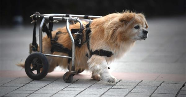 Paralyzed dog walks on street with wheelchair