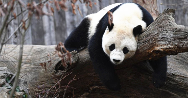 U.S.-born panda bound for China on special flight