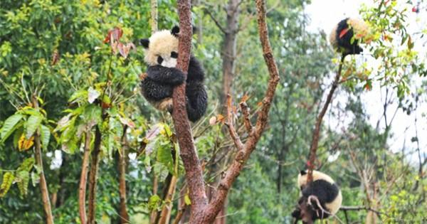 Cute panda babies play in the rain