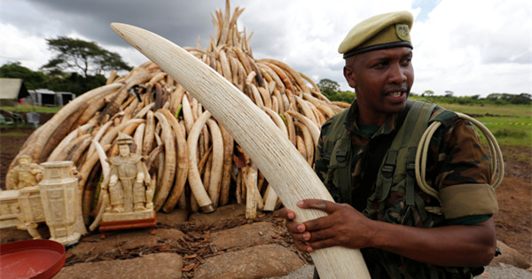 Kenya prepares to burn 150 tons of ivory to protect elephants