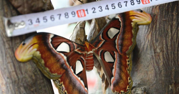 Atlas moth breaks out of cocoon
