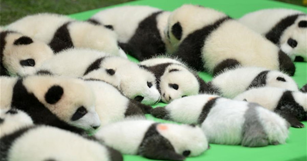 23 baby giant pandas born in 2016 make debut in Chengdu