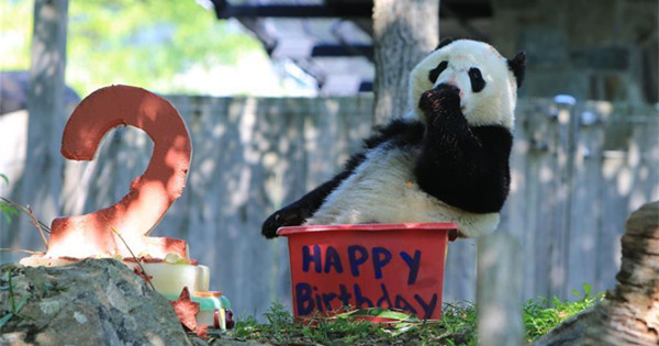 Giant panda Beibei celebrates 2-year-old birthday in U.S.