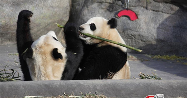 Toronto says goodbye to its beloved giant pandas