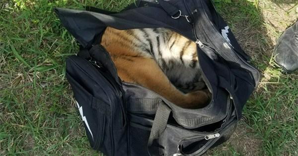 Smugglers abandon tiger cub in bag along Texas border