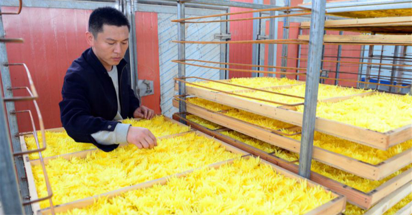 Chrysanthemums cultivation benefits local economy in China