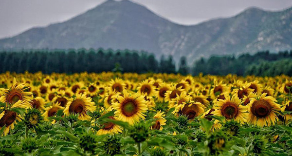 Scenery of oil sunflowers in Beijing