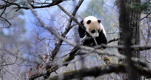 Encounter with wild Qinling pandas