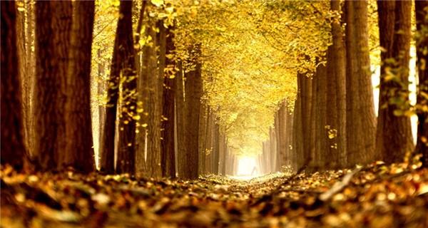 Picturesque golden foliage in Beijing suburb