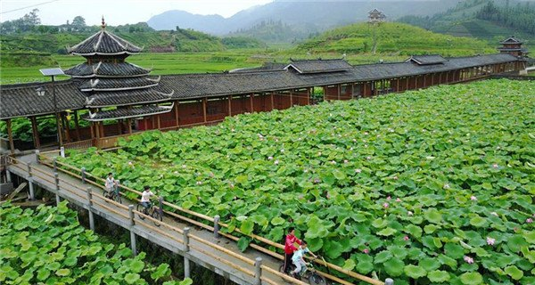 Lotus flowers blooming in Guangxi