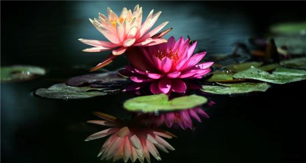Lotus bloom in southwestern city