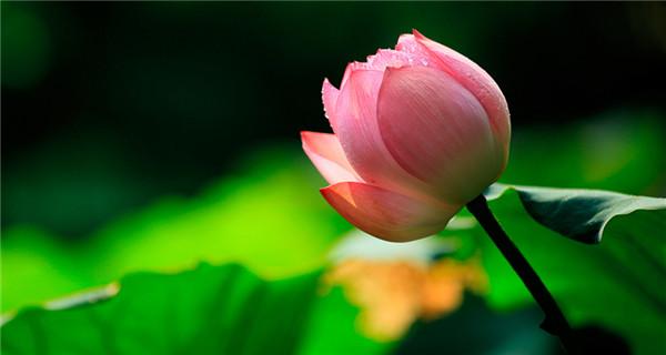 Picturesque lotus flowers bloom in Shenzhen park
