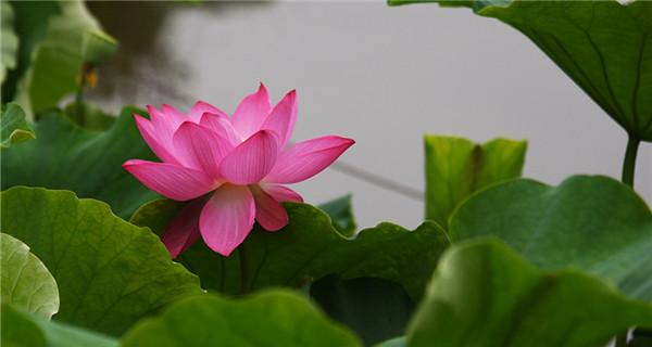 Lotus flower exhibition held in Kunming, Yunnan Province