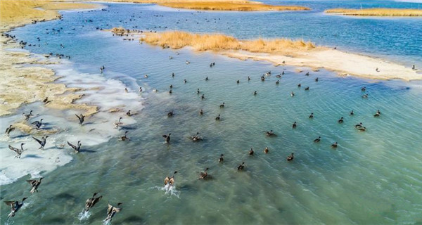 Healthier environment brings more wild birds to Qarhan Salt Lake