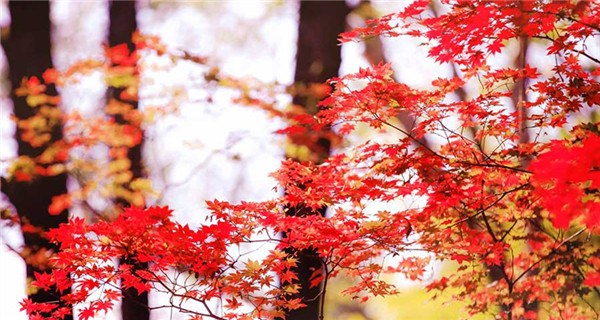 Flaming red maples trees, another late autumn attraction