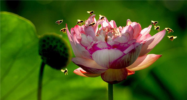 Refreshing lotus blossoms to cool down your summer