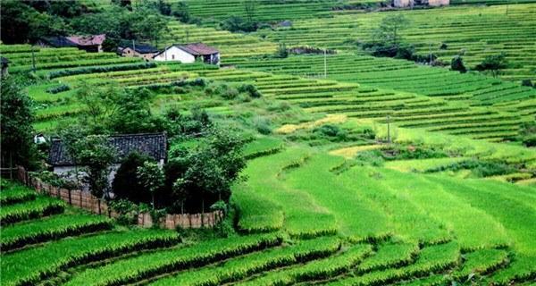 Scenery of rice fields in Quanzhou, S China