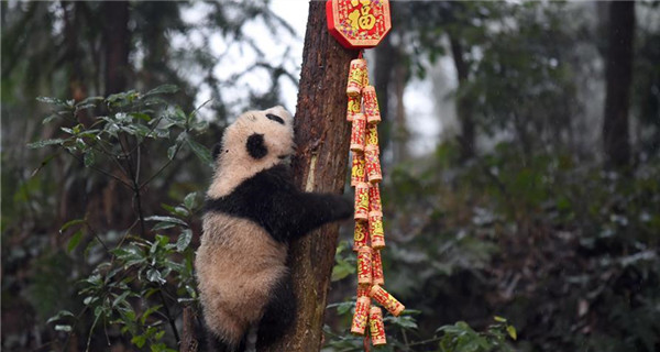 Panda cubs pose for New Year greetings in Sichuan