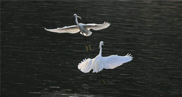 Egrets frolic on river in Beijing
