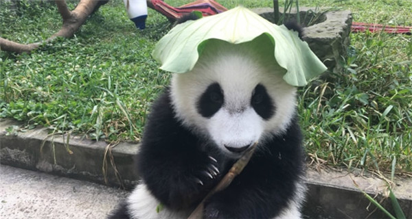 Pandas rock tailor-made hats to stay cool this summer