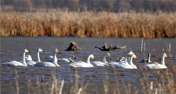 Swans seen in reservoir of north China