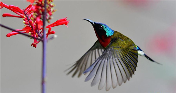 Fork-tailed sunbird gathering honey in SE China