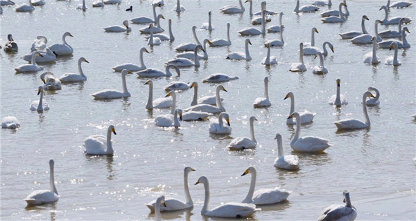 White swans seen in Sanmenxia, Henan Province