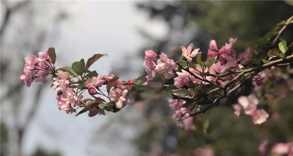Kunming cherry blossom season arrives