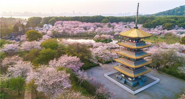 Aerial photos show cherry blossoms at East Lake in Wuhan