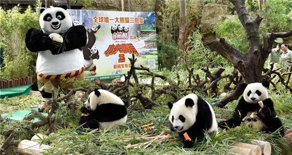 Panda triplets at Chimelong Safari Park in Guangzhou