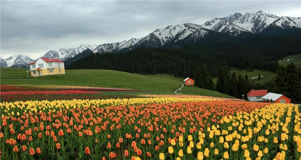 Colorful tulip farm in Xinjiang