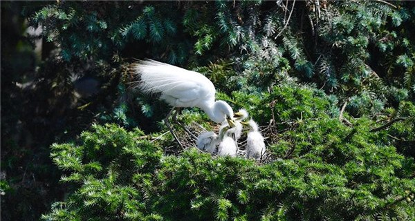 Egrets live in Xiangshan Forest Park for breeding