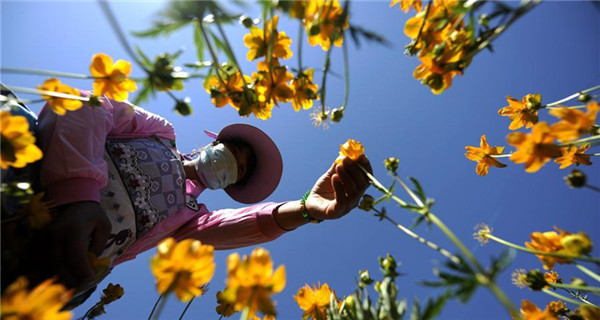 Farmers pick globeflowers at planting base