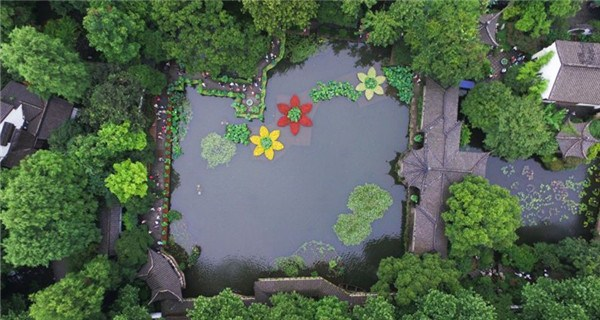 Lotuses blossom in Hangzhou