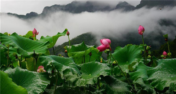 Lotus flowers blossom at village in China