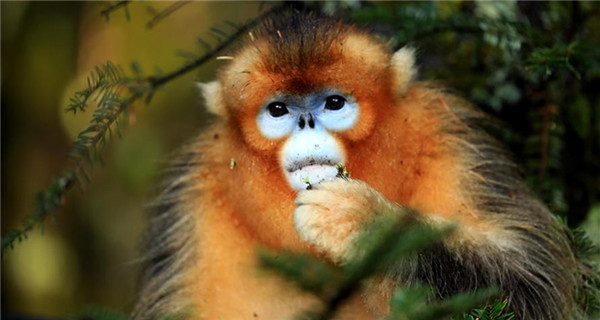 Golden monkeys seen in central China