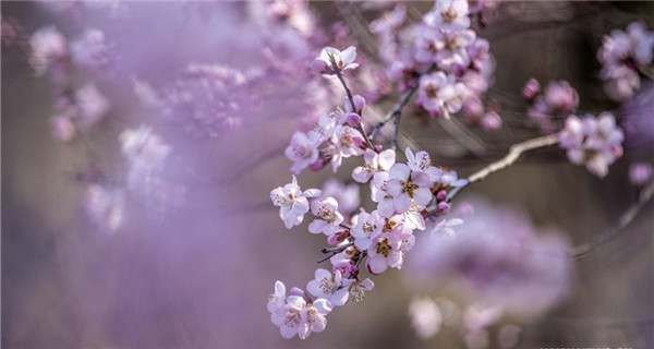 Scenery of peach blossoms in Shanxi