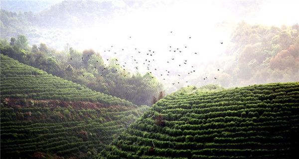 Tea picking across China