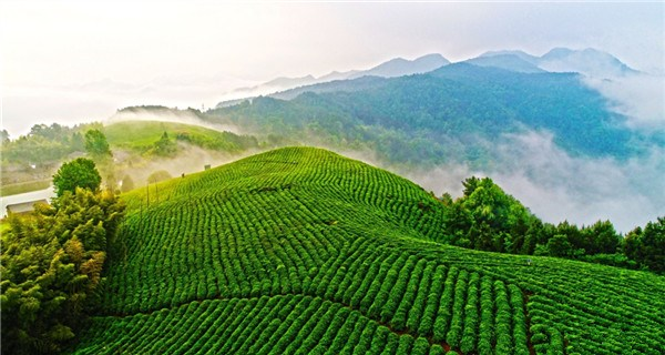 A sea of clouds washes over organic tea gardens in Zhejiang