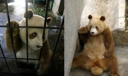The photo shows a brown panda named Qizai in a wildlife research center in northwest China's Shannxi Province. (Photo: CCTV)