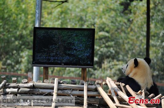 Giant panda Sijia watches TV at Yunnan Wild Animals Park in Kunming of southwest China's Yunnan province on April 14, 2014. [Photo: China News Service / Liu Ranyang]