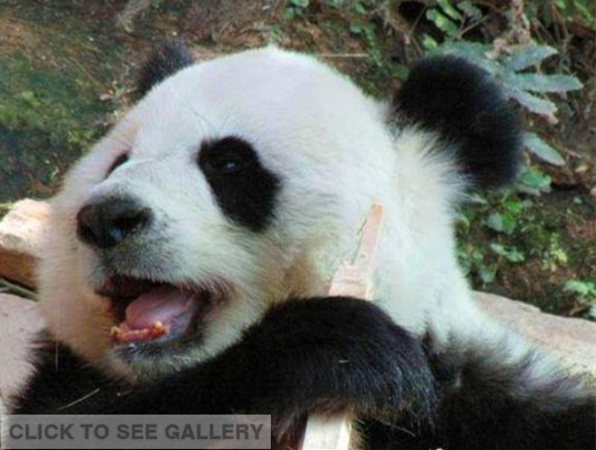 An online video clip about a panda with rotten teeth at a Thailand zoo has made a splash among netizens who are upset to see the black-and-white bear is badly kept. [Photo: Weibo account of Sing Sian Yer Pao Daily]