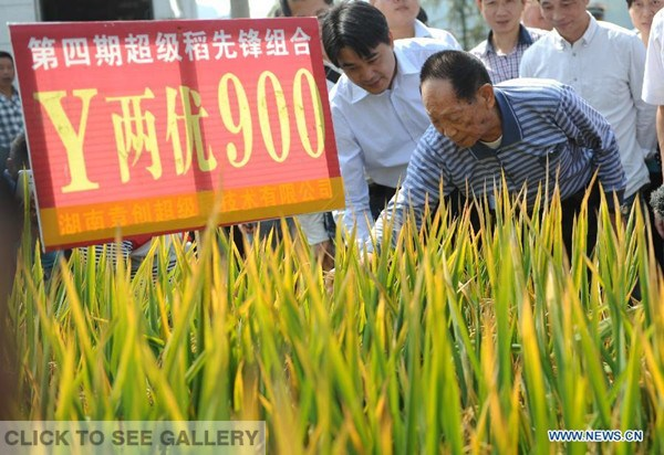 """Yuan Longping (R, front), known in China as """"the father of hybrid rice,"""" checks the condition of hybrid rice in Hongxing Village of Xupu County, central China's Hunan province, Oct 10, 2014. A team led by Yuan Longping has achieved a record for hybrid rice production with an average yield of 1,026.7 kilograms per mu (0.0667 hectare), an official with the Ministry of Agriculture said on Friday. (Xinhua/Li Ga)"""