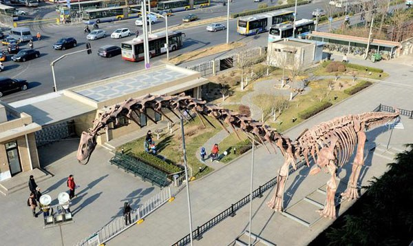 A restored dinosaur skeleton is on display outside the Beijing Museum of Natural History on Tuesday, Dec 2, 2014. [Photo/Beijing Times]