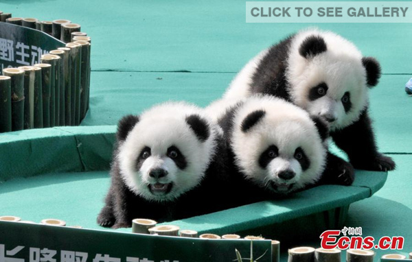 The world's only surviving panda triplets are seen playing in the Chimelong Safari Park in Guangzhou, South China's Guangdong province on December 15, 2014. The trio have been named Kuku (cool), Shuaishuai (handsome), and Mengmeng (cute) after a three-month campaign. [Photo: China News Service/ Liu Weiyong]
