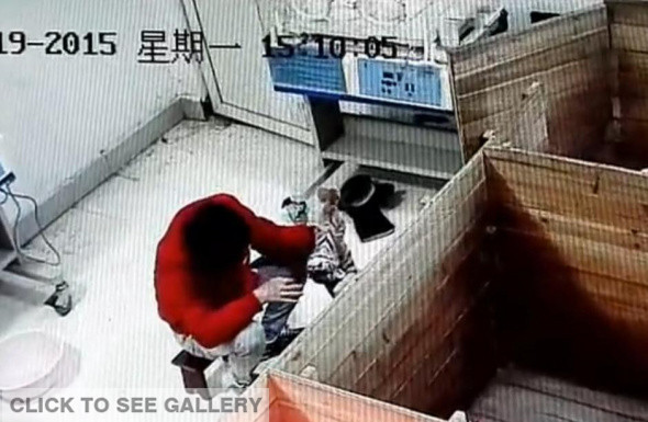 A piece of video clip shows a zookeeper is suspected of torturing a South China tiger cub on Jan 19, 2015. In a video that went viral online, a man is seen grabbing the neck of a cub, which is the size of a kitten, suspending the animal in the air, and punching it in the head when it tries to escape. Kuang Huaming, a manager at the zoo, has confirmed the authenticity of the video and says the keeper involved has been fired. South China tigers, believed to have been extinct in the wild for more than 30 years, are listed as one of the world's ten most endangered animals.[Photo/Chinanews.com]